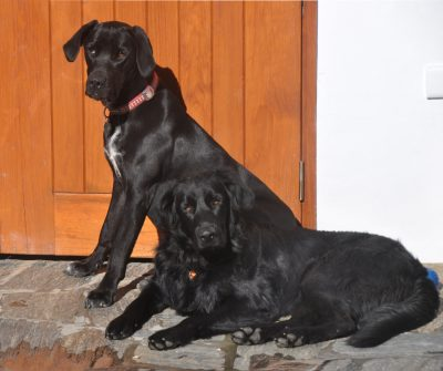 Two friendly black dogs